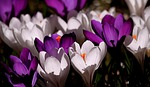crocus March Report Card